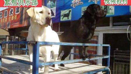 5拉布拉多犬乳白色和黑色训练销售