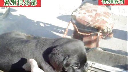 13黑色和咖啡色拉布拉多幼犬睡觉了