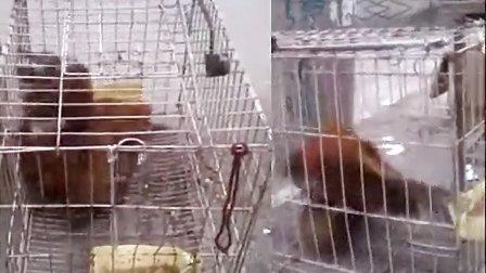 公鸡与母鸭交配