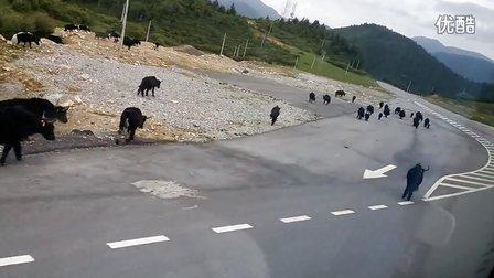 牦牛上公路了