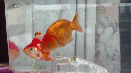 小兰寿和小短尾鎏金金鱼