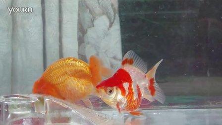 小兰寿和小短尾鎏金金鱼2