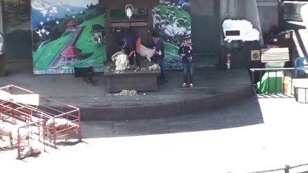 2013.6.19 南投 清境农场 青青草原 绵羊秀