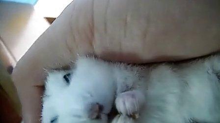 仓鼠布丁在手上把腮里食物吐出来吃哈哈