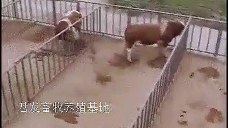 致富经养牛视频全集