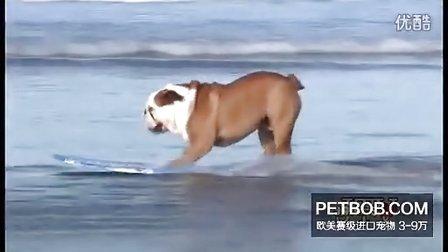 看英国斗牛犬玩滑板真是帅呆了