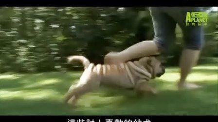 沙皮狗~全面介绍
