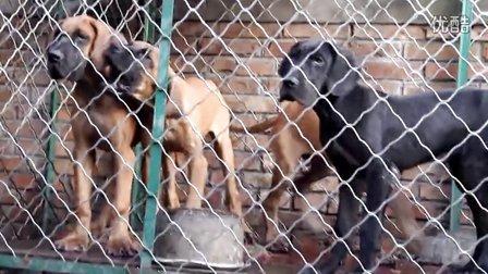 世界上最大的狗品种 大丹犬 幼犬