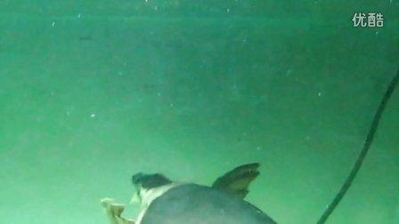 (20130814)大猪鼻龟吃苹果