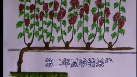 葡萄保护地栽培技术2
