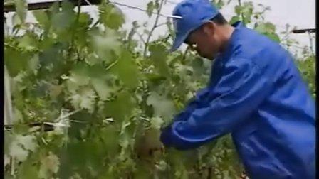 葡萄无核大果栽培法3