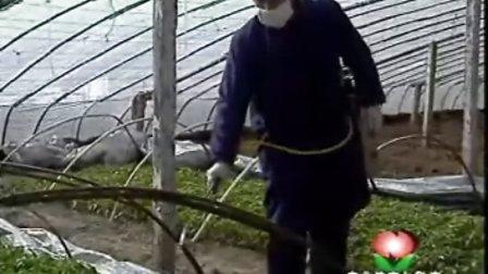 大棚辣椒栽培技术
