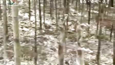 安吉早园竹2