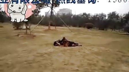 驯犬师 上海驯狗师 驯狗师基地 宠物训练 宠物培训 宠物训练学校   怎样驯狗  狗狗训练 狗学校