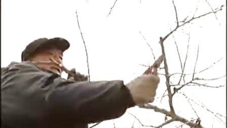 中华寿桃栽培管理技术、油桃盛果期周年管理技术2