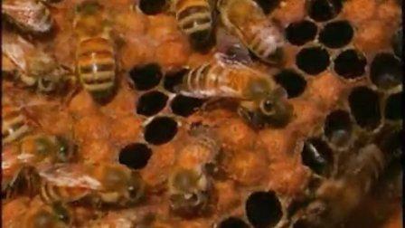 蜜蜂养殖法-养殖蜜蜂视频-蜜蜂养殖项目