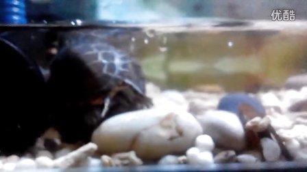 残暴的东锦,咬住了食螺的爪子。