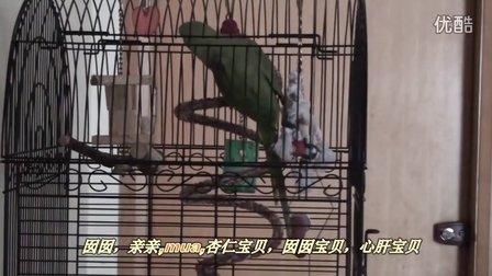亚历山大鹦鹉-杏仁说话背唐诗视频