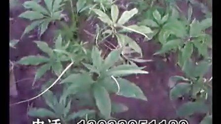 天南星种植技术,中药材种植指南,别的有射干、柴胡、远志、防风、黄芩、白术等