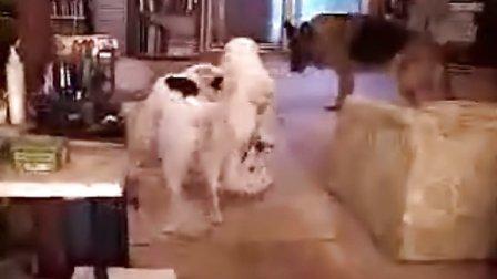 白德牧(白色德国牧羊犬)