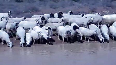 清水河畔饮羊趣事