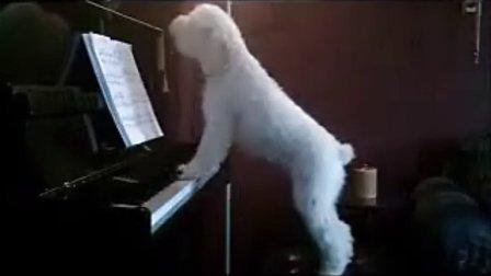 狗狗钢琴弹唱!深情高声哀嚎!【谷姐特搞队】