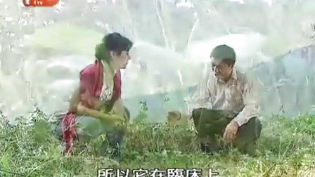 芳草尋源III 第9集『溶石金錢草』