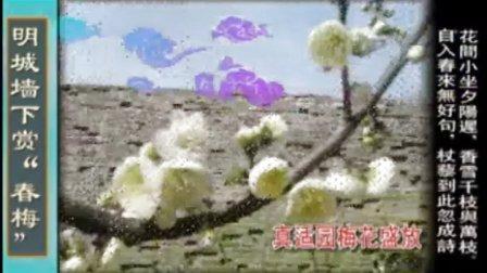 """北京崇文区明城墙下赏""""春梅"""""""