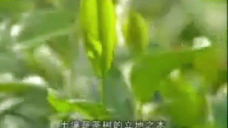 茶树的种植管理技术