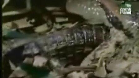 森蟒吞鳄鱼