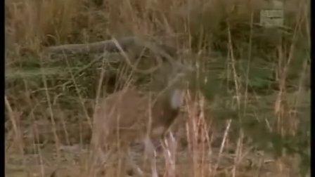 BBC纪录片 《自然世界:虎王国的危机》