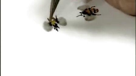 5蜜蜂的画法