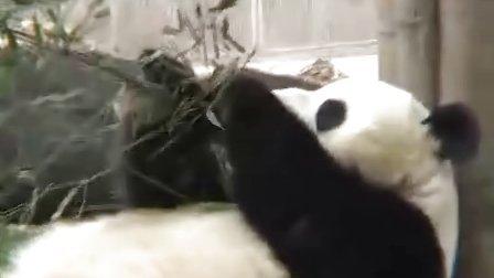 探访大熊猫
