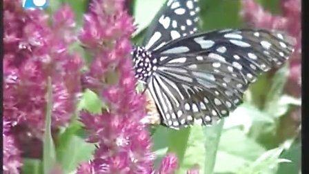 上万只云南蝴蝶亮相杭州野生动物世界7月11日富阳电视新闻