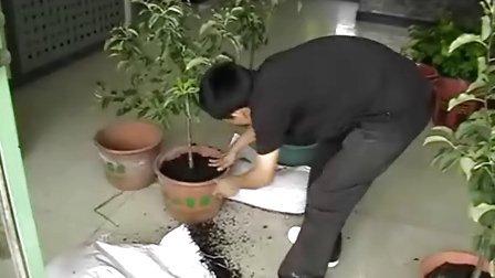 如何给盆栽果树倒盆