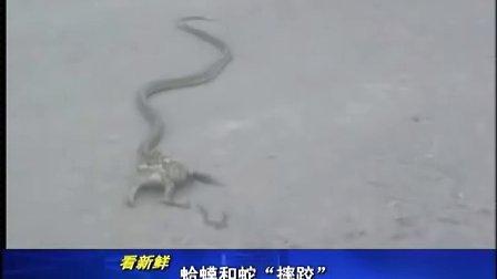 江西台:蛤蟆大战猛蛇   坚持就是胜利