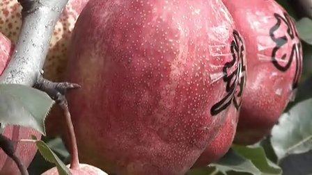 陕西早酥红梨发源地-早酥红梨苗价格-批发