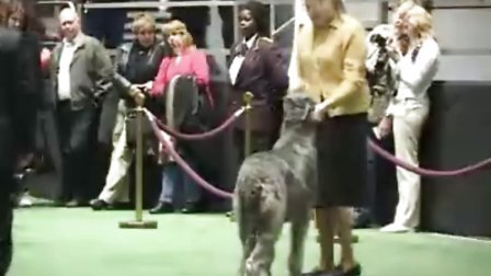 猎犬-irish wolfhound爱尔兰猎狼犬
