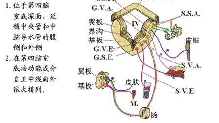 国家精品课程 视频教学 神经病学 神经内科 神经解剖11、神经系统(总论)(上)