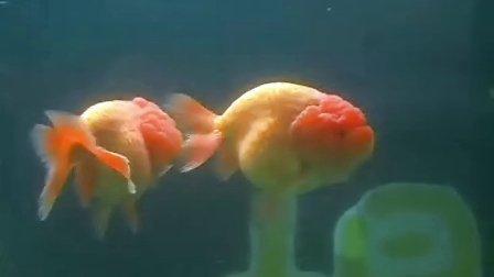 十五的月亮十六圆,武汉市飞达金鱼养殖场健康成长的小苗随拍之---共把金盏赏明月