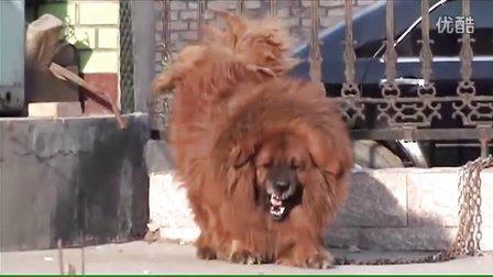 藏獒多吉的原型:称霸草原的大狮头红藏獒