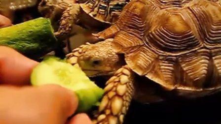 """""""暴啃小龟""""之 木家小龟啃瓜记【苏卡达陆龟、豹纹陆龟】"""