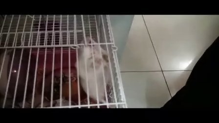 nobody可爱小鼠最新版本,喜多玩杂耍,好好厉害