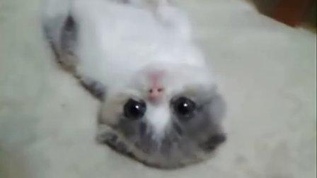 可爱猫咪的诱惑