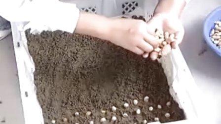 芽苗菜栽培技术--花生芽