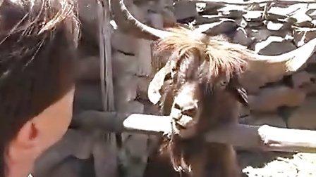 千奇百怪!国外男子与山羊激烈争辩