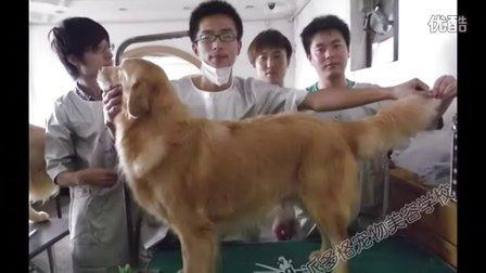 西安宠物美容师工资多少-派多格学校2011第七期金毛作品(www.dogmr.com)