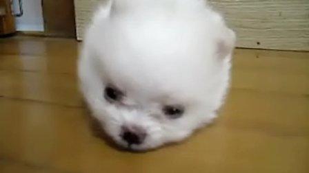 【史上最可爱的狗狗之毛绒绒棉花糖】
