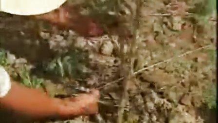枸杞栽培与初加工技术(上)