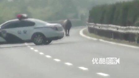 【拍客】高速公路上演斗牛 交警化身斗牛士